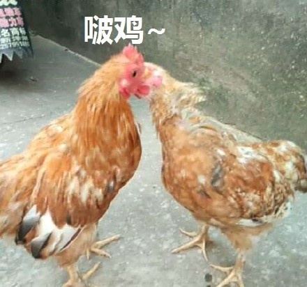 啵鸡(亲亲)