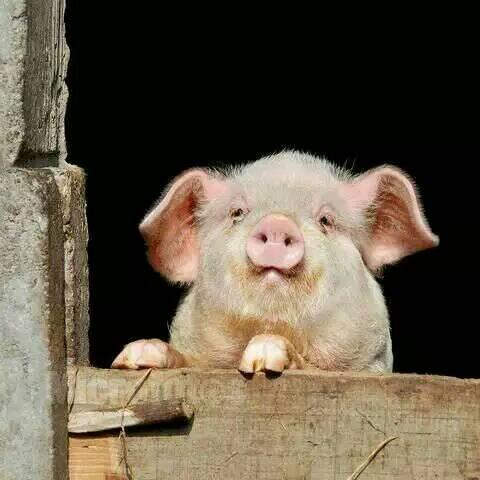 可爱小猪猪