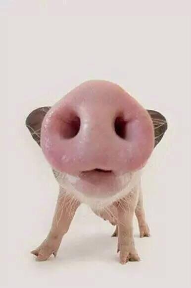 小猪 - 大鼻孔