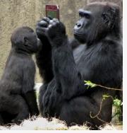 猩猩玩手机